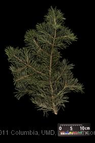 image of White Fir