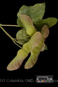 image of Hedge Maple