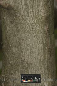 image of Amur Maple