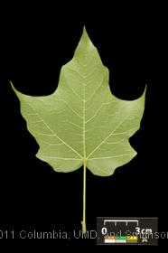image of Black Maple