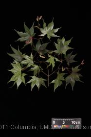 image of Japanese Maple