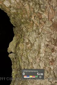 image of Sycamore Maple