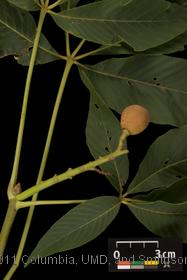 image of Yellow Buckeye