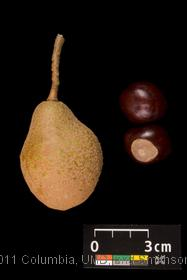 image of Ohio Buckeye