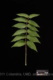 image of Tree Of Heaven