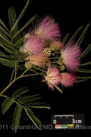 image of Mimosa