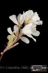 image of Downy Serviceberry