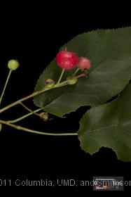 image of Canadian Serviceberry