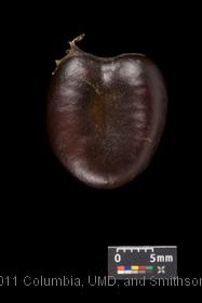 image of Common Pawpaw
