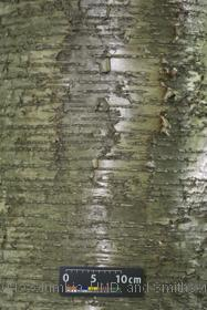 image of Yellow Birch