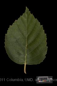 image of Whitebarked Himalayan Birch