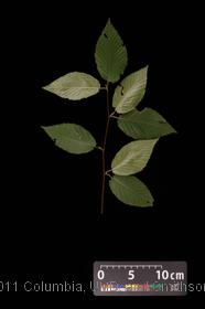image of Sweet Birch