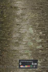 image of River Birch