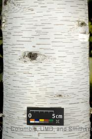 image of Paper Birch