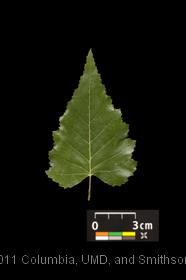 image of Asian White Birch