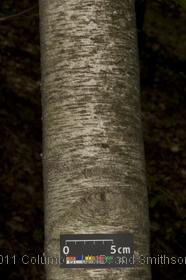image of Gray Birch