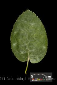 image of Virginia Roundleaf Birch