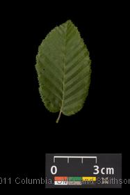 image of European Hornbeam