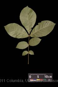 image of Pignut Hickory