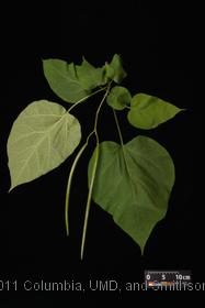 image of Northern Catalpa