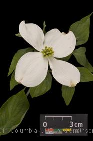 image of Flowering Dogwood