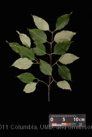 image of Kousa Dogwood