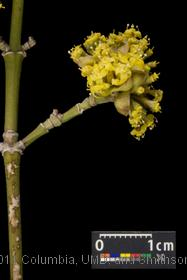 image of Cornelian Cherry