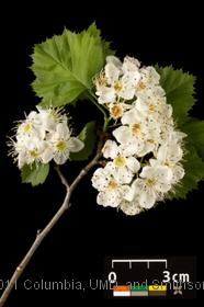 image of Broadleaf Hawthorn