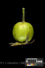 image of Fleshy Hawthorn