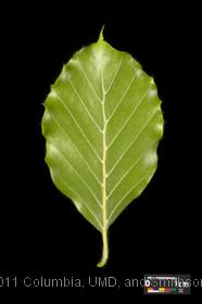 image of European Beech