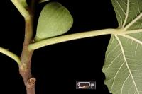 image of Edible Fig