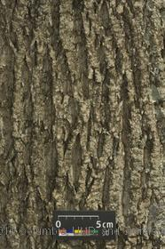 image of White Ash