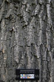 image of European Ash