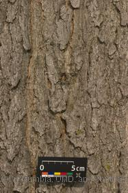 image of Kentucky Coffeetree