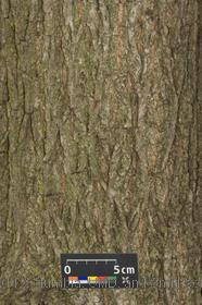 image of Black Walnut