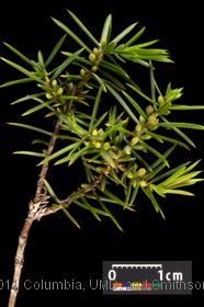 image of Common Juniper