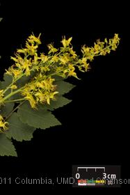 image of Panicled Goldenrain Tree