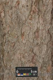 image of European Larch