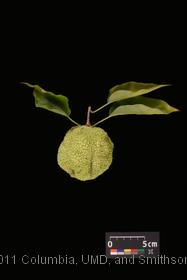 image of Osage Orange