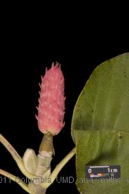 image of Cucumbertree Magnolia