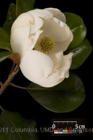 image of Southern Magnolia