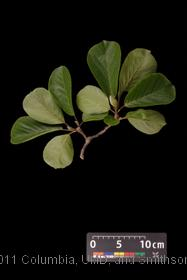 image of Saucer Magnolia