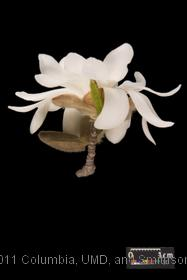image of Star Magnolia