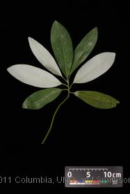 image of Sweetbay Magnolia