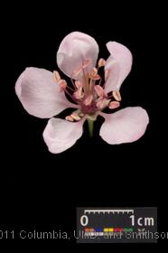 image of Southern Crabapple