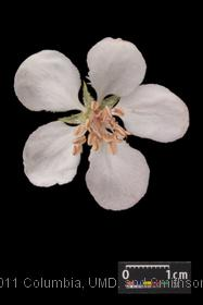 image of Sweet Crabapple