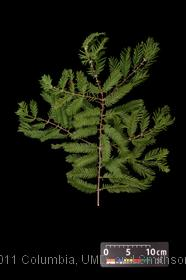 image of Metasequoia