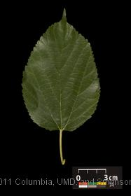 image of Red Mulberry