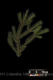 image of Blue Spruce