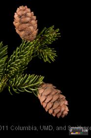 image of Red Spruce